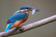 共同的翠鸟/Eisvogel翠鸟属atthis 库存图片