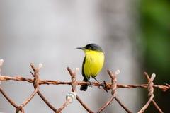 共同的翡翠科鸟捕蝇器 库存照片