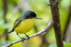 共同的翡翠科鸟捕蝇器 库存图片