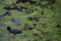 共同的老傻瓜在与年轻小鸡的水中在荷花之间浮萍和叶子的水中  库存照片