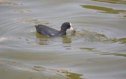 共同的老傻瓜鸟游泳在池塘中水  免版税库存照片