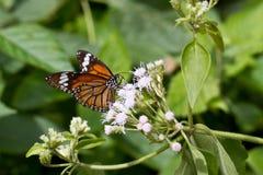 共同的老虎蝴蝶-丹尼亚斯genutia在Ksandalama斯里兰卡 库存照片