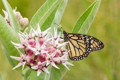共同的老虎蝴蝶-黑脉金斑蝶(丹尼亚斯plexippus) i 免版税库存图片