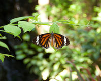 共同的老虎蝴蝶 库存照片