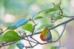共同的耶洗别是与黄色和红色翼的蝴蝶 图库摄影