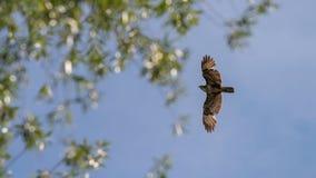 共同的肉食飞行 鵟鸟鵟鸟 库存照片