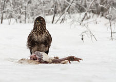 共同的肉食鵟鸟鵟鸟在冬天 免版税库存照片