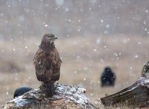 共同的肉食(鵟鸟鵟鸟)在暴风雪在草甸 库存照片