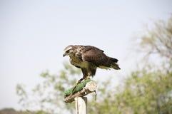 共同的肉食-鵟鸟鵟鸟 库存图片