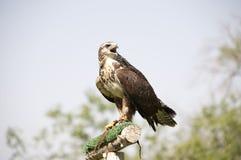 共同的肉食-鵟鸟鵟鸟 图库摄影