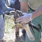 共同的肉食(鵟鸟鵟鸟) 库存图片