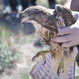 共同的肉食(鵟鸟鵟鸟) 免版税库存照片