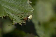 共同的舒展蜘蛛,长有下巴的天体织布工蜘蛛, Tetragnatha extensa,走和基于一片叶子在一个晴天,苏格兰 图库摄影