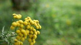 共同的艾菊黄色花  艾菊vulgare草本植物  E 影视素材
