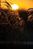 共同的芦苇和日出 免版税库存照片