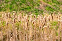 去共同的芦苇由一个池塘播种在Cumbria 免版税图库摄影