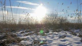 共同的芦苇芦苇属极光在与雪的冬天 早期的春天在拉脱维亚 影视素材