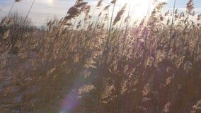 共同的芦苇芦苇属极光在与雪的冬天 早期的春天在拉脱维亚 股票视频