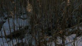 共同的芦苇芦苇属极光在与雪的冬天 早期的春天在拉脱维亚 股票录像