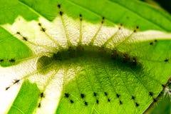 共同的花里胡哨的男爵蝴蝶& x28的毛虫;Euthalia luben 库存图片