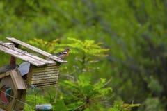 共同的花鸡、Fringilla coelebs或者花鸡 免版税库存照片