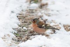 共同的花鸡(男性)在冬天 免版税图库摄影
