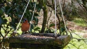 共同的花鸡Fringilla coelebs,通常已知作为花鸡,是一只共同和普遍小燕雀类鸟我 免版税库存照片