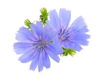 共同的苦苣生茯或菊苣属intybus花 查出在白色 库存图片