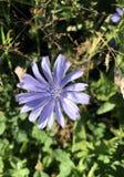 共同的苦苣生茯或菊苣属Inybus开花 免版税库存图片