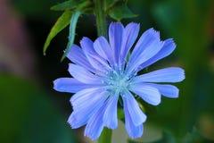 共同的苦苣生茯,菊苣属intybus,美丽的花,背景 免版税图库摄影