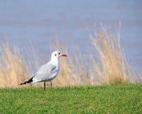 共同的英国燕鸥鸥 库存图片