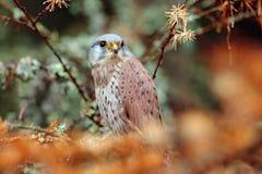 共同的茶隼,游隼科tinnunculus,坐橙色秋天森林,芬兰的小的鸷 库存图片