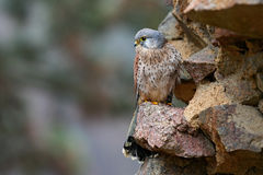 共同的茶隼,游隼科tinnunculus,小的鸷坐在老城堡,德国的石墙 库存照片