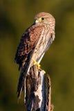 共同的茶隼,游隼科tinnunculus,小的鸷坐树干,瑞典 免版税图库摄影