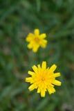 共同的草雏菊,顶上的看法 库存图片
