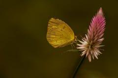 共同的草蝴蝶 图库摄影