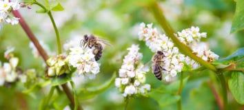 共同的荞麦的领域 环境美化与耕种的庄稼,蜂蜜花esculentum的fagopyrum 蜂工作共同的buckwhe 免版税库存照片