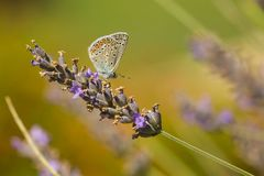 共同的蓝色在紫色淡紫色的蝴蝶哺养的花蜜 库存图片