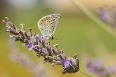 共同的蓝色在紫色淡紫色的蝴蝶哺养的花蜜 免版税库存照片