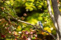 共同的蓝色尖嘴鸟在树枝栖息 免版税库存图片