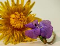 共同的蓝色紫罗兰和蒲公英花 免版税库存图片