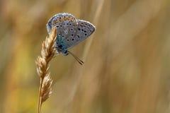 共同的蓝色蝴蝶polyommatus基于草st的艾卡罗计 免版税图库摄影