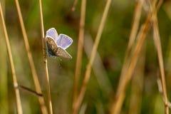 共同的蓝色蝴蝶Polyommatus艾卡罗计在草s栖息 图库摄影