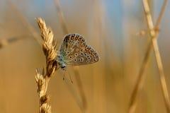 共同的蓝色蝴蝶Polyommatus艾卡罗计在金黄栖息 免版税库存图片