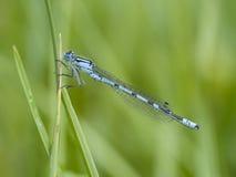 共同的蓝色蜻蜓, Enallagma cyathigerum 免版税库存图片