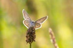 共同的蓝色蝴蝶面对照相机 免版税库存图片