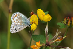 共同的蓝色蝴蝶& x28; Polyommatus艾卡罗计& x29; 图库摄影