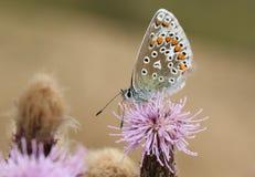 共同的蓝色蝴蝶& x28; Polyommatus艾卡罗计& x29; 免版税库存照片