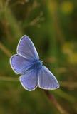 共同的蓝色蝴蝶& x28; Polyommatus艾卡罗计& x29; 免版税库存图片