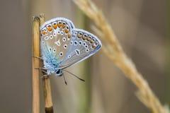 共同的蓝色(Polyommatus艾卡罗计) 库存照片